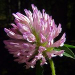 Trifolium pratense1