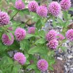 Trifolium pratense2