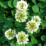 Trifolium repens1