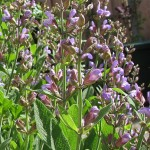 salvia officinalis1