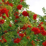 sorbus acuparia1