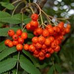 sorbus acuparia2