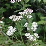 achilea millefolium1