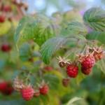 Rubus idaeus1