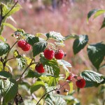 Rubus idaeus2